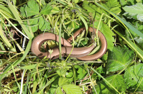 A Slow Worm curled up.