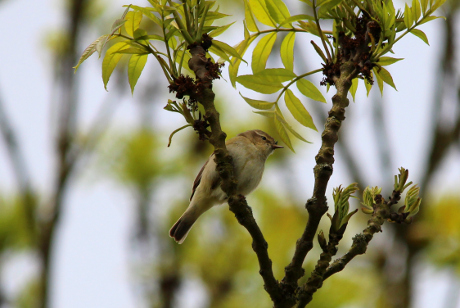 A summer migrant Chiffchaff.