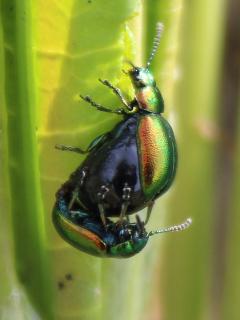Green Dock Leaf Beetle.