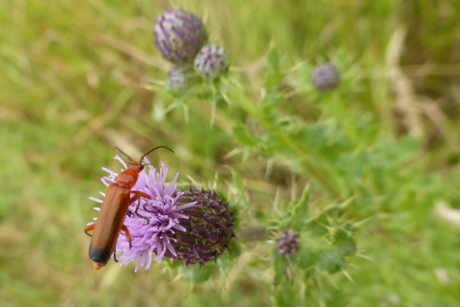 A soldier beetle on a thistle.